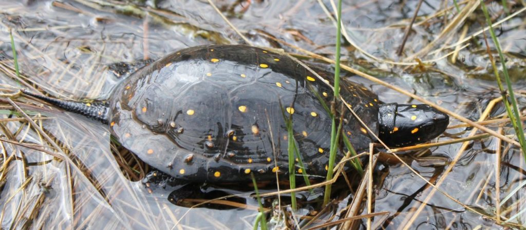 Spotted Turtle in water and grass