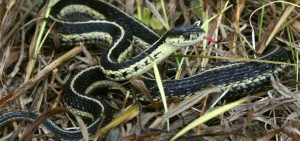 Eastern Gartersnake | Reptile & Amphibians in Ontario