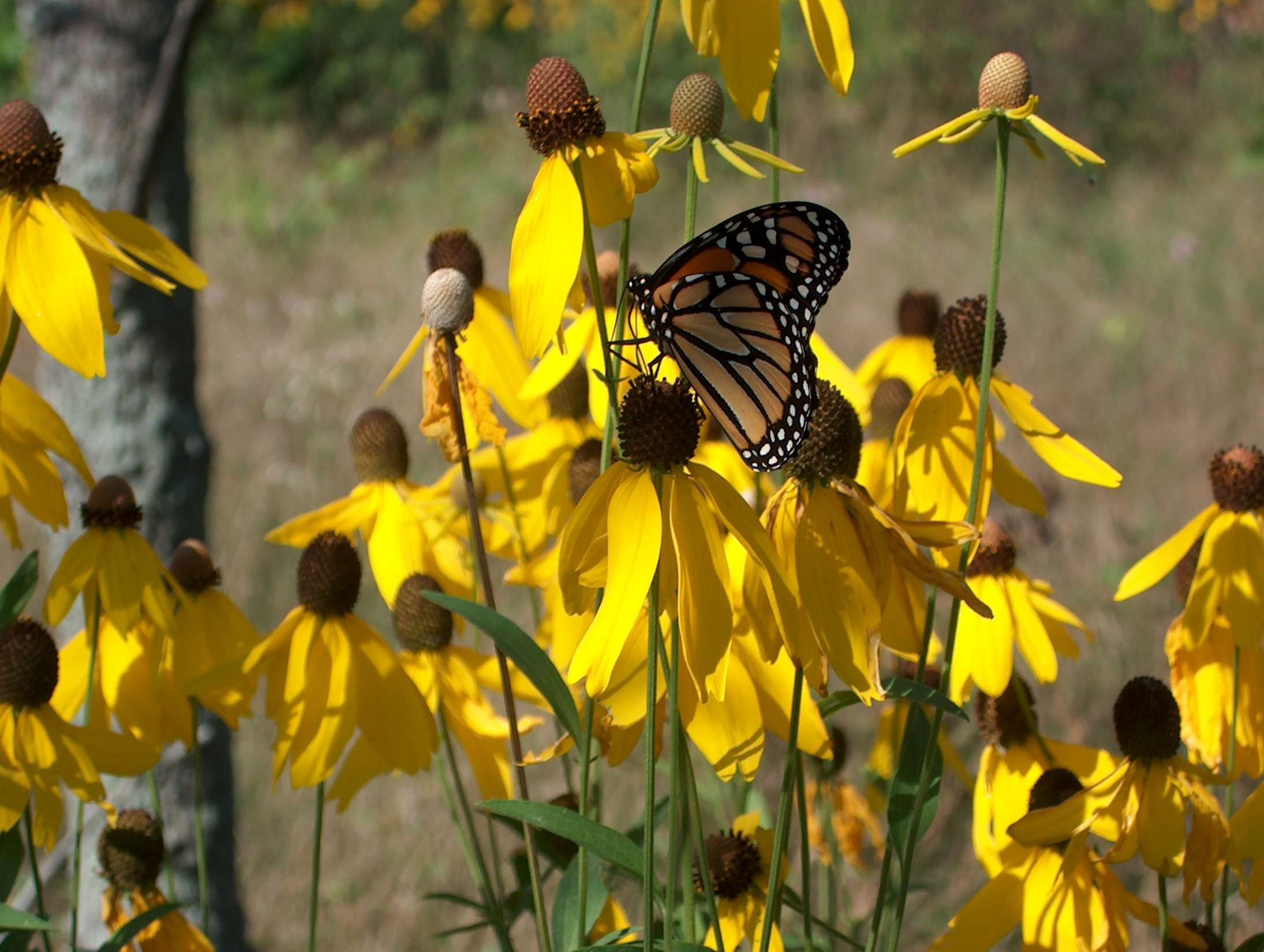 Monarch and coneflowers, Stone Road Alvar Nature Reserve