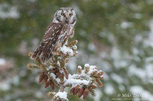 Boreal owl © Mike Lentz
