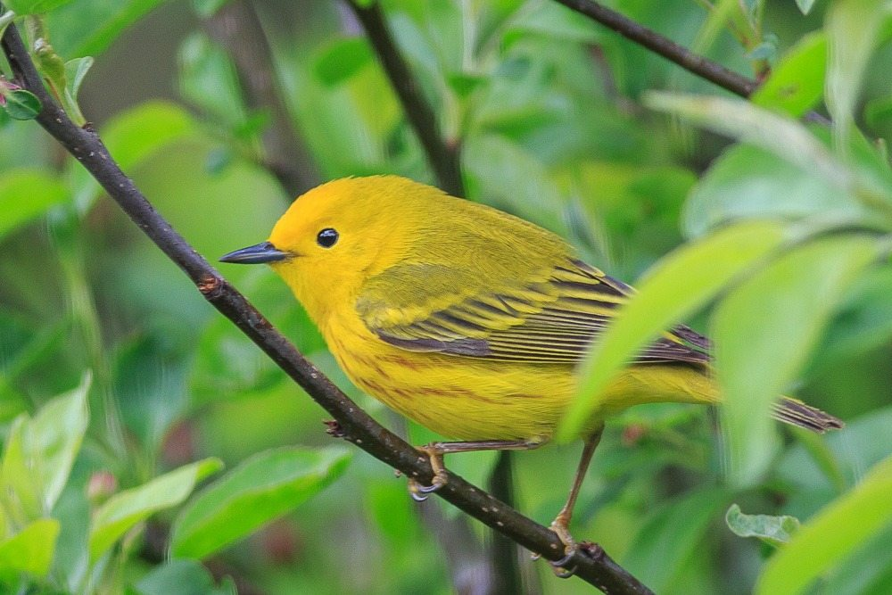 Yellow warbler in a tree