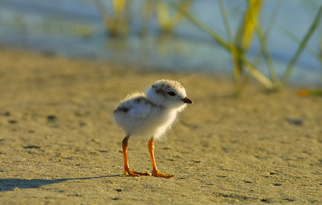 piping plover chick, endangered
