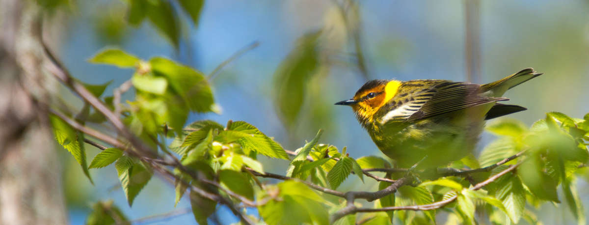 cape may warbler, warblers, warbler, songbird, prince edward county, south shore