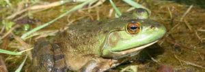 American bullfrog, bullfrog, frog, frogs