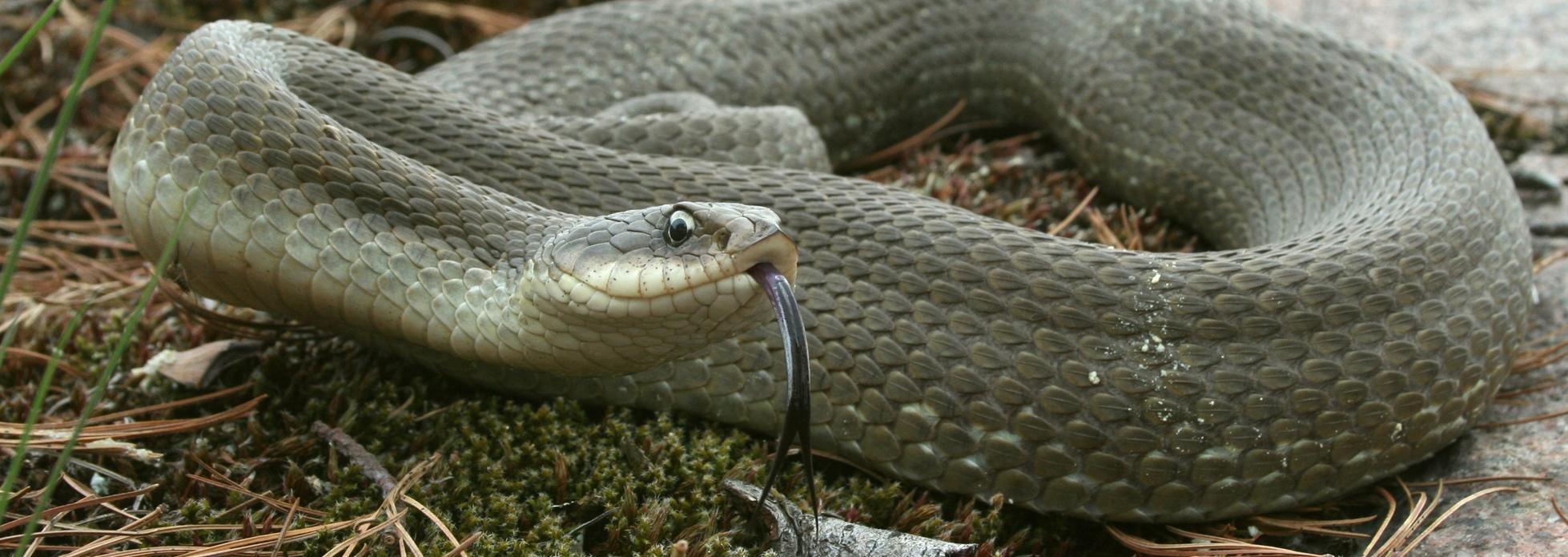 Eastern Hog-nosed Snake | Reptiles & Amphibians Ontario