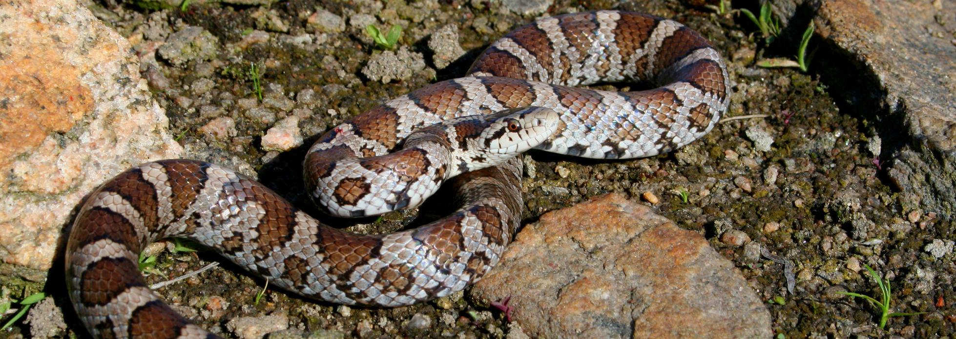 Milksnake | Reptiles and Amphibians in Ontario | Ontario Nature