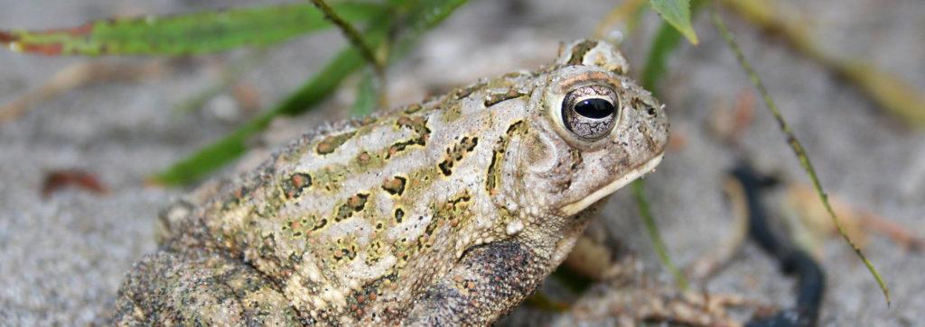 toad, toads, endangered, at risk