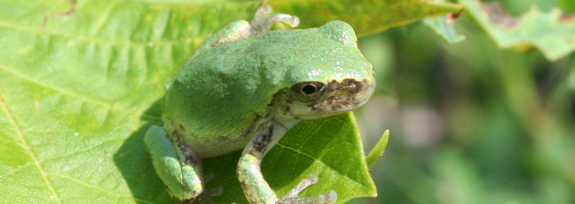 Gray Treefrog | Reptiles & Amphibians in Ontario | Ontario Nature