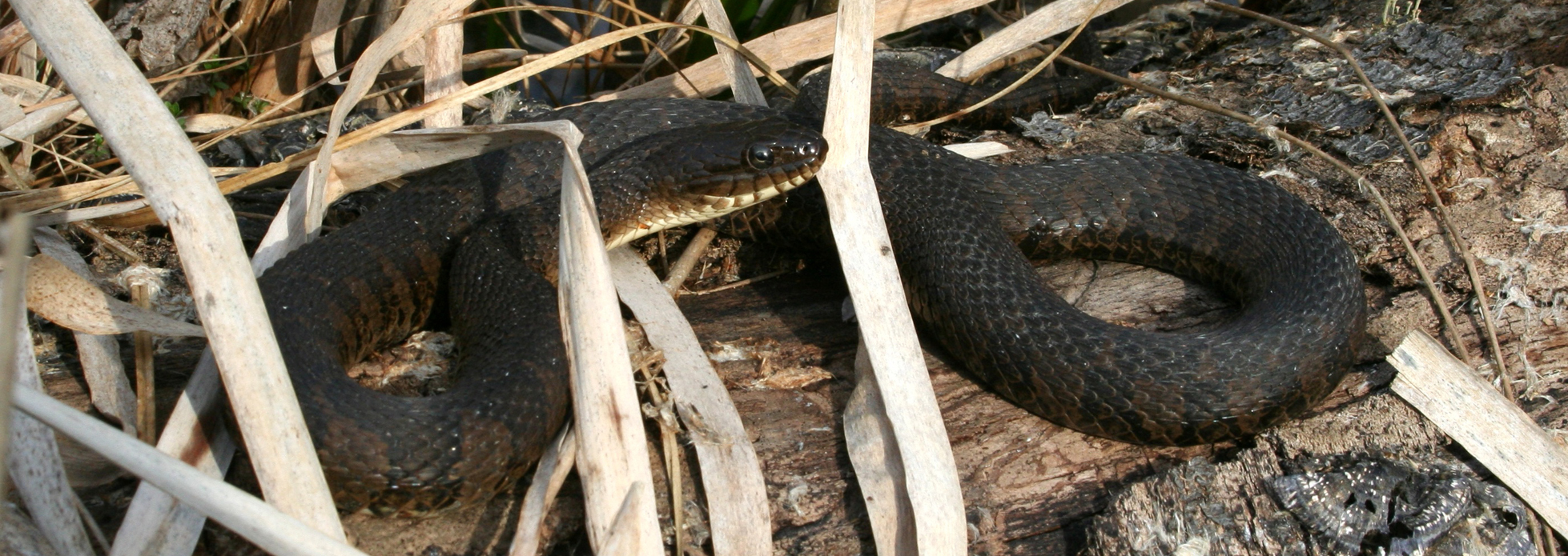 Northern Watersnake | Reptiles & Amphibians in Ontario