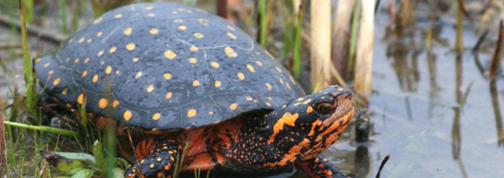 endangered, spotted turtle, turtles, at risk