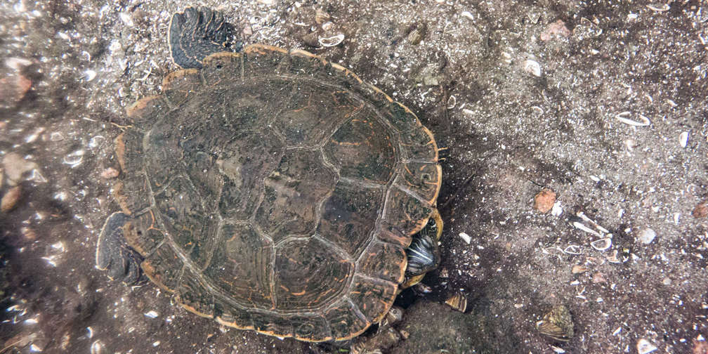 winter, map turtle, turtle, turtles, at risk, species at risk, special concern