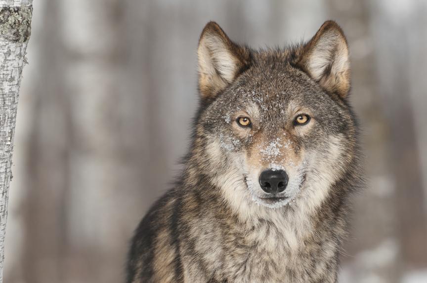 grey wolf, wolves, mammals, northern wildlife
