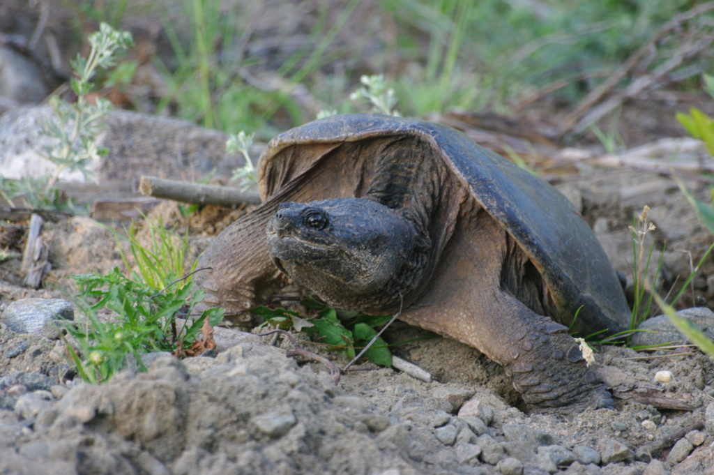 Nesting snapping turtle