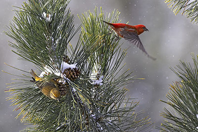 Pair of red crossbills foraging in snowy white pines © Robert McCaw