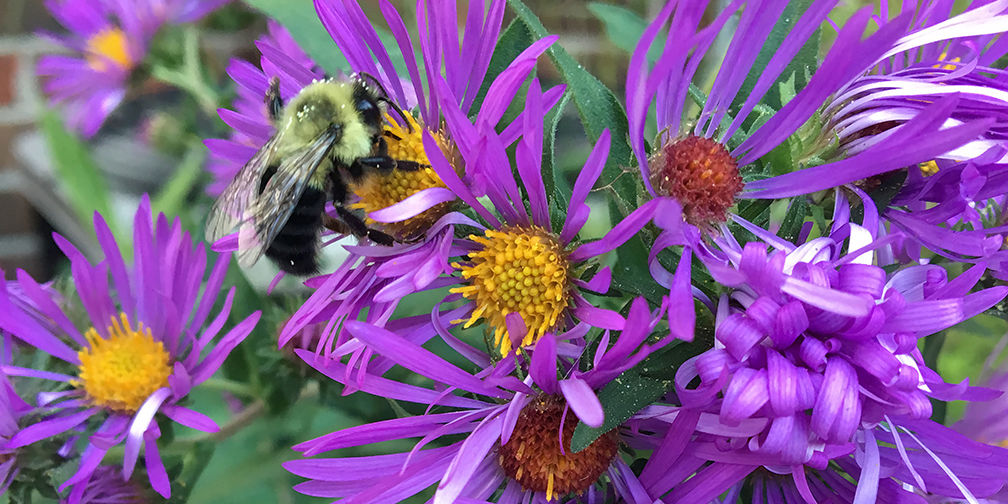 Eastern bumble bee on New England asters in urban pollinator-friendly garden