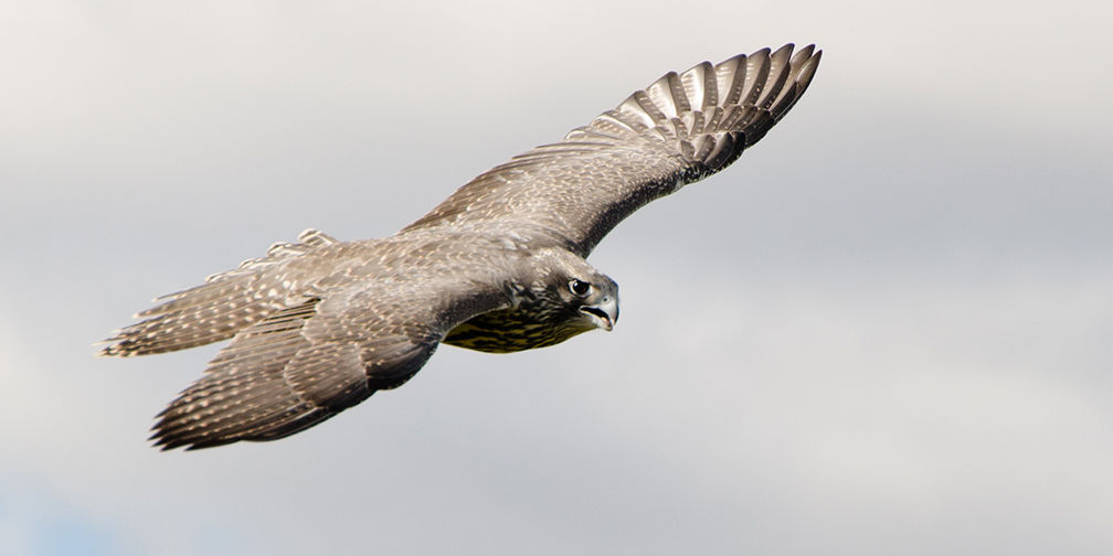 Gyrfalcon in flight