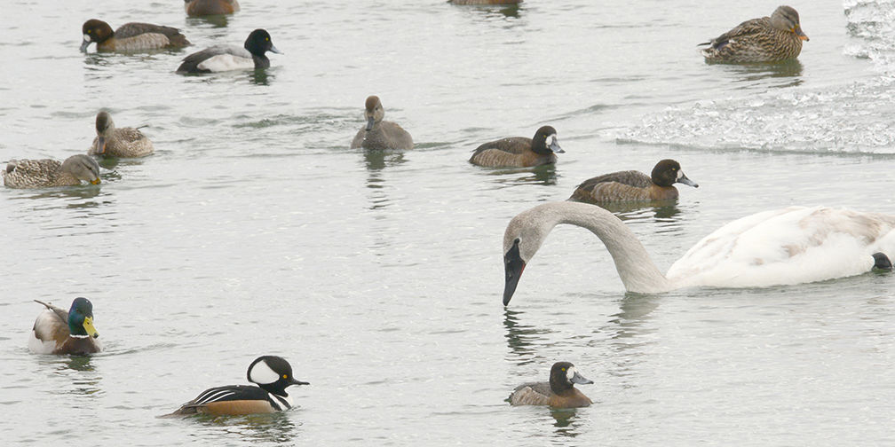 Trumpeter swan, hooded merganser, scaup and mallards at Tommy Thompson Park