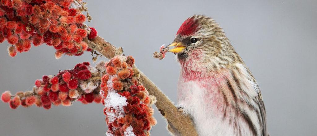 Common redpoll eating staghorn sumac fruit in winter