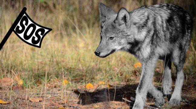 Algonquin wolf, Ontario