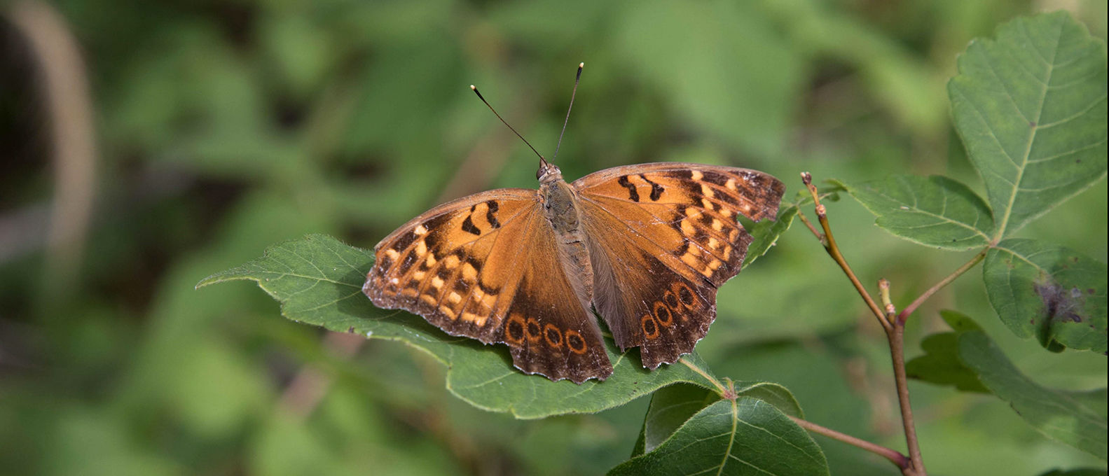 Tawny emperor butterfly, Stone Road Alvar Nature Reserve