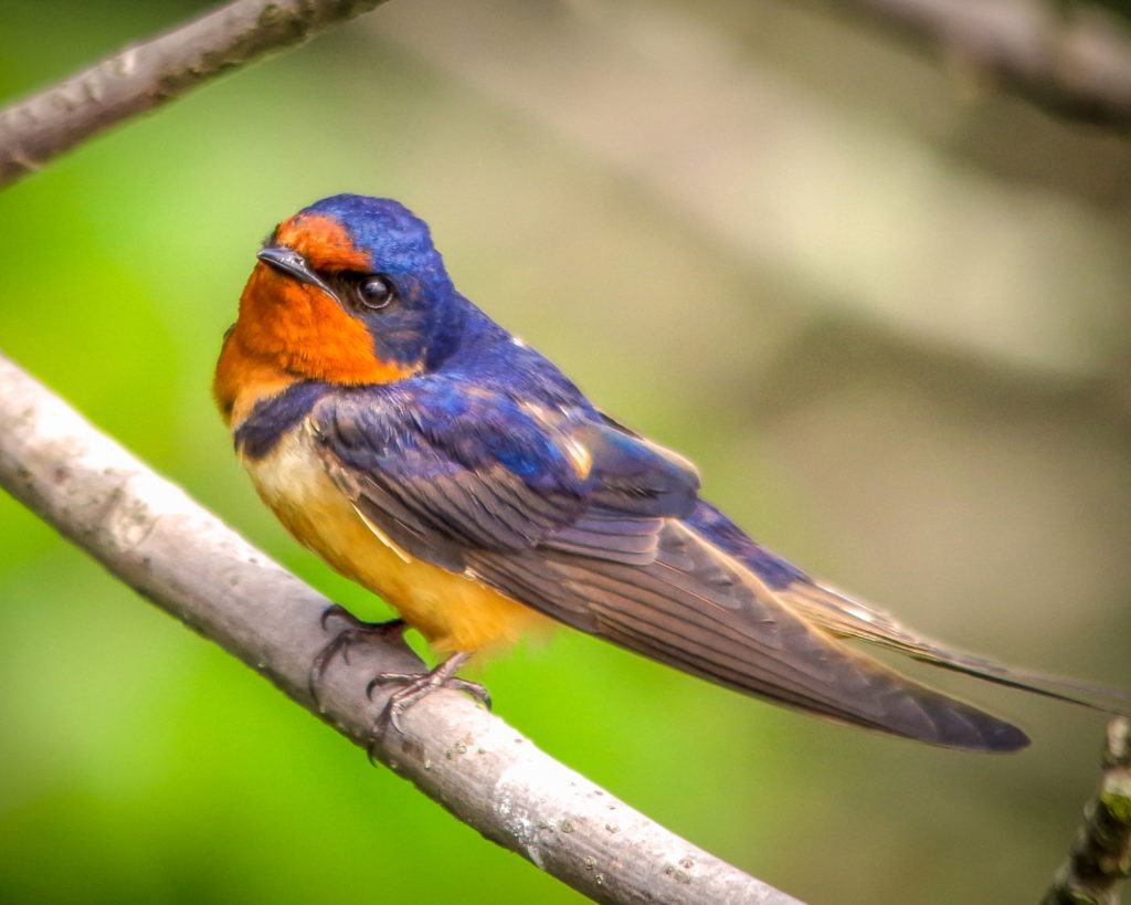 Barn swallow, threatened species