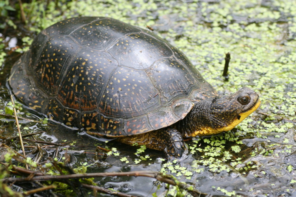 Blanding's turtle, threatened species