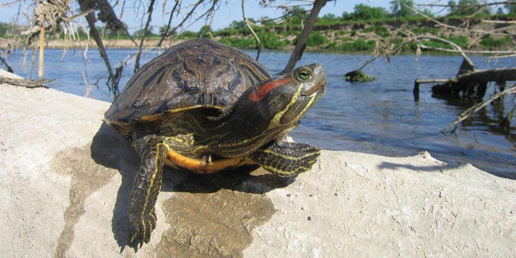 Red-eared slide turtle