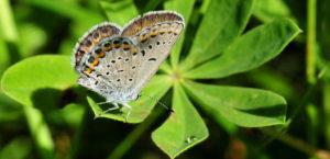 Karner blue butterfly on wild lupins