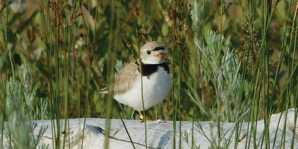 Piping plover on log