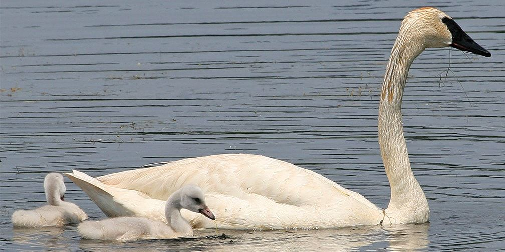 Trumpeter swan and sygnets