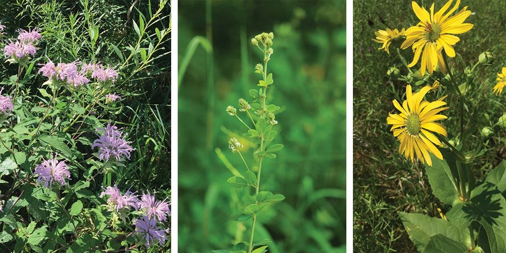 Wild bergamot (left), Hairy bush clover (centre), Cup-plant sunflower (right)