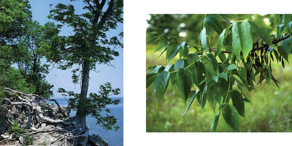Blue ash trees