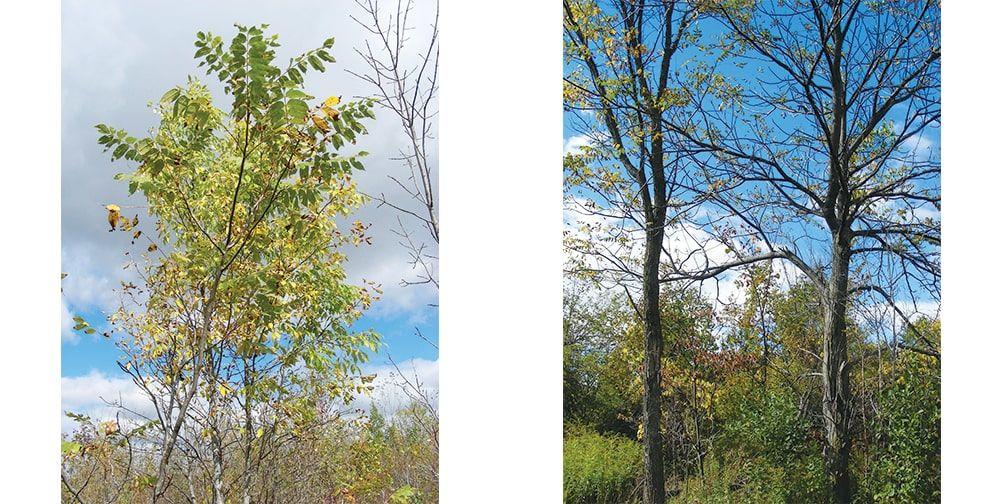 Butternut trees