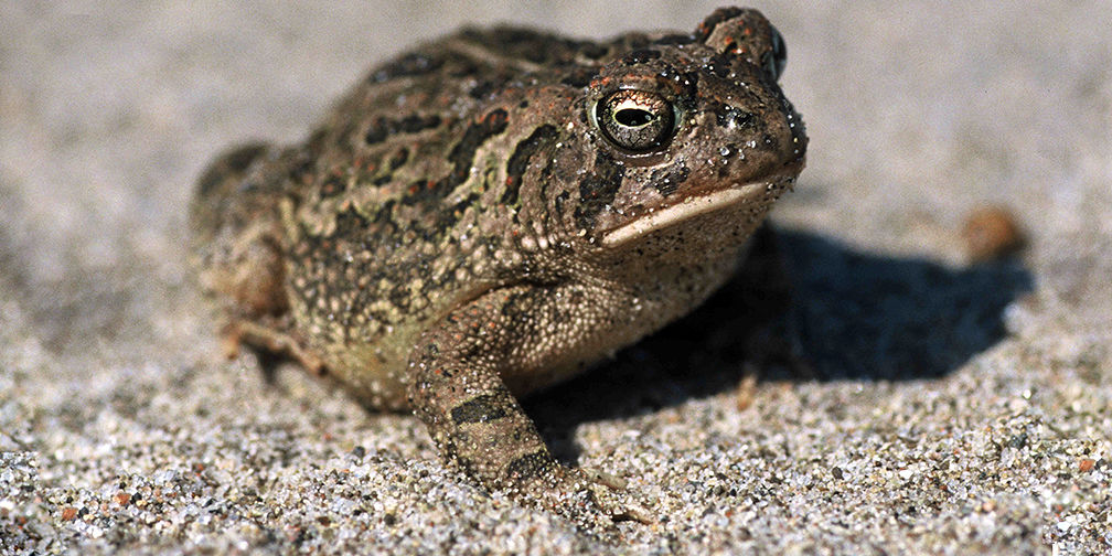 Fowler's toad, endangered, species at risk