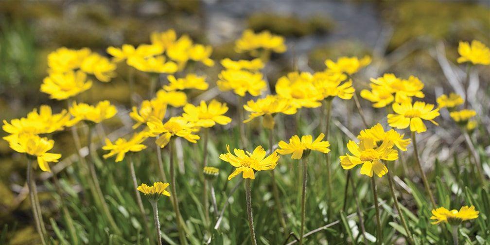 Lakeside daisy on an alvar