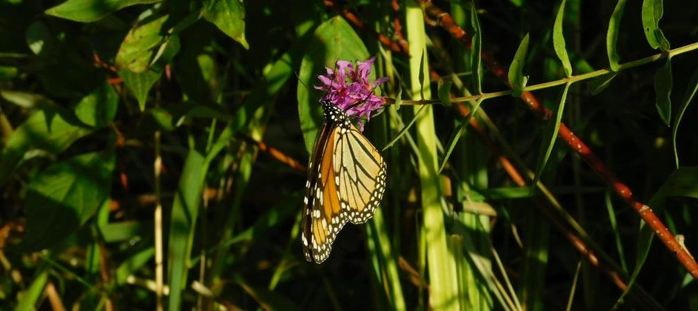 Monarch butterfly hanging off of a purple flower