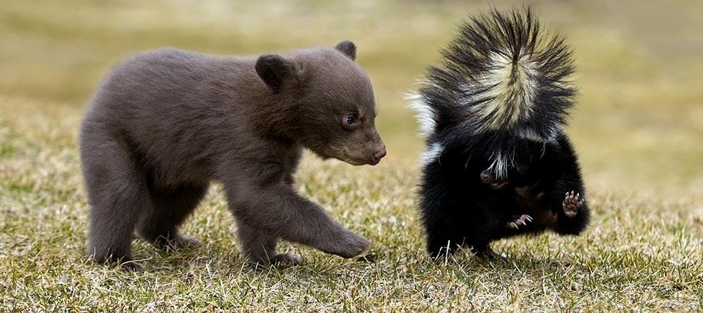 black bear cub frolicking with a skunk