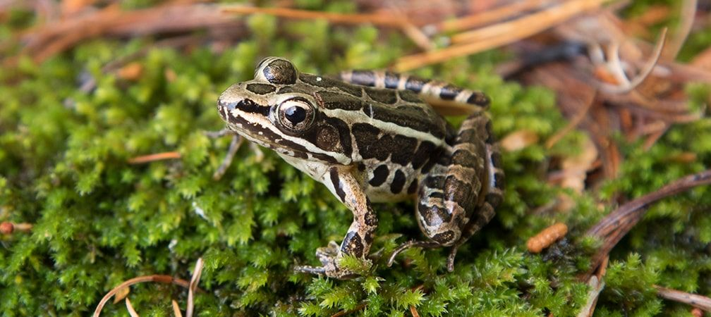 Pickerel frog perched on a patch of moss