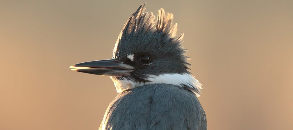 Belted kingfisher looking over its shoulder