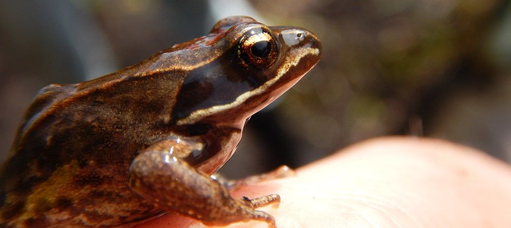 Wood frog perched on hand