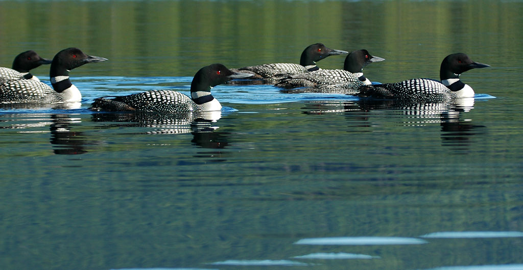 Rafting common loons on a lake