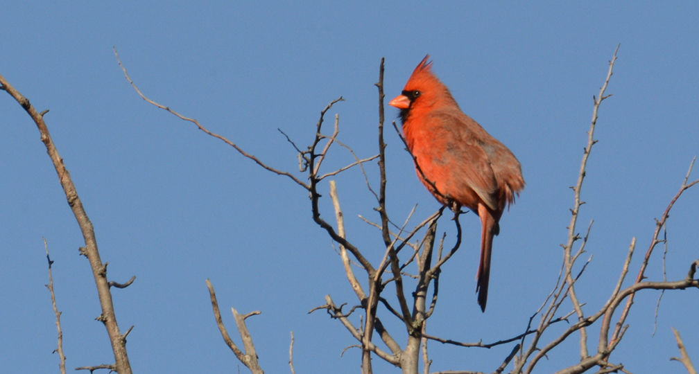 Northern cardinal perched at the top of a tree