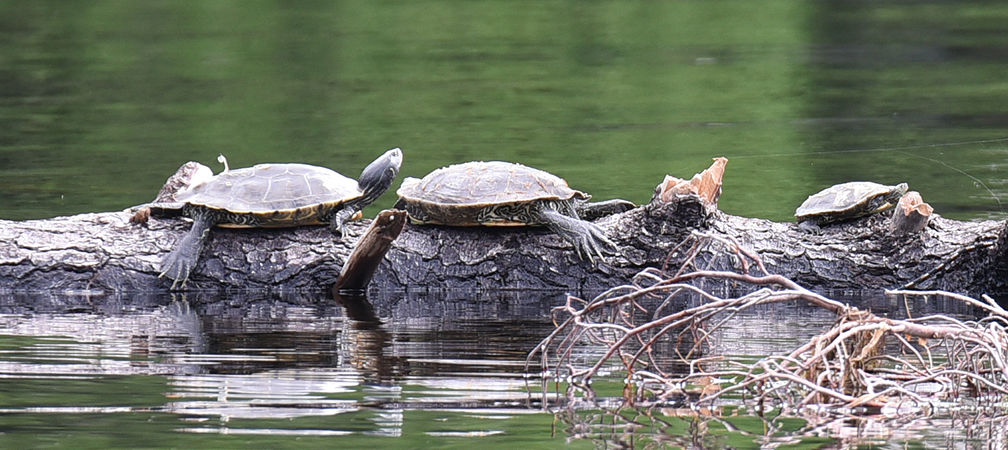 Map turtles basking, species at risk