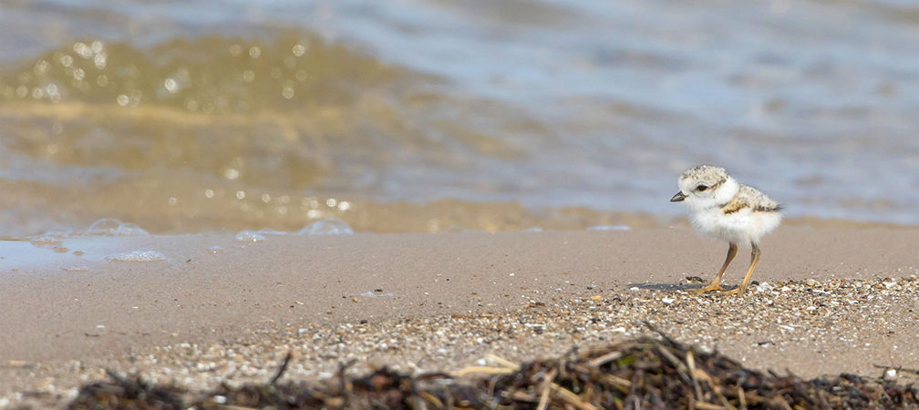Piping plover chick in Ontario at the water's edge