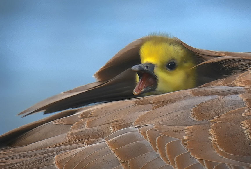 Newly hatched Gosling peering out from under the protection of mothers wing. St. Clair River, Sarnia