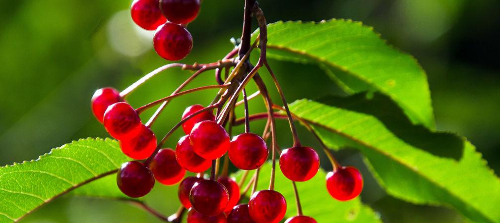 Pin cherry fruit on the tree