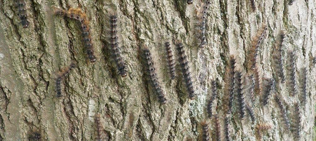 Lymantria, aka gypsy moth caterpillars
