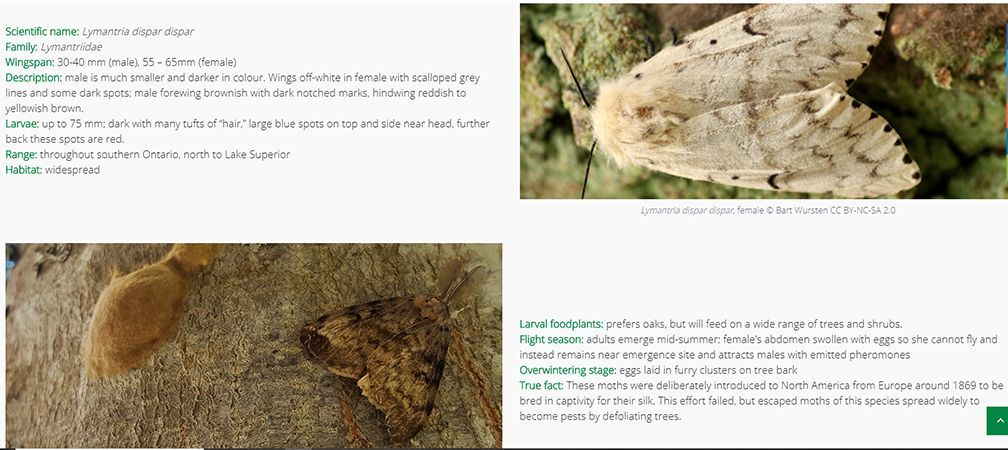 Onnaturemagazine.com  Butterfly and Moth Guide Lymantria section