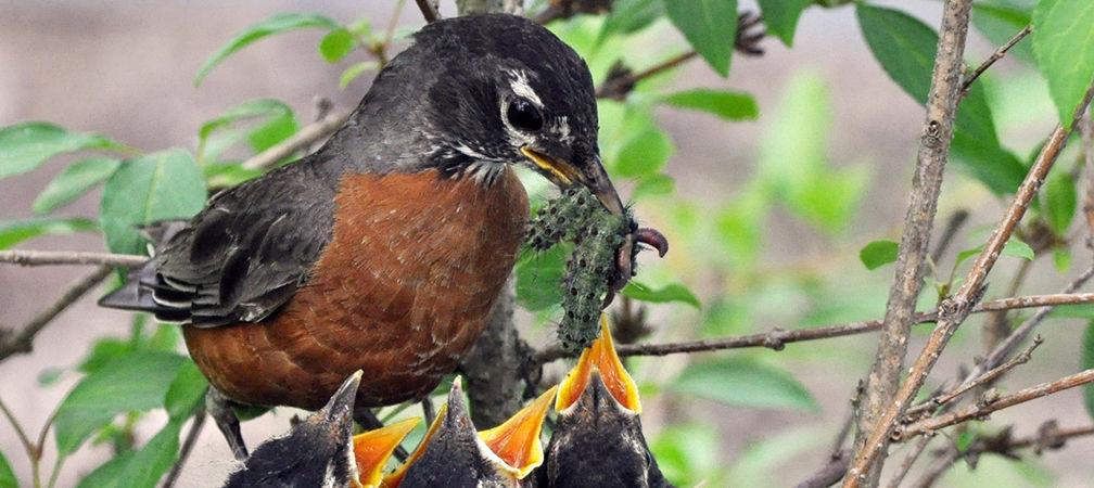 Robin feeding nestlings Lymantria caterpillars