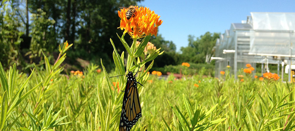 Butterfly milkweed and monarch butterfly